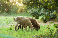 The sheep are grazing in the meadows. Royalty Free Stock Image