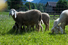 Sheep grazing in the meadows of Bavaria Stock Photography