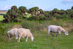 Sheep grazing in the meadows of the northern coast of Devonshire Stock Photos