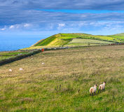 Sheep grazing in the meadows of the northern coast of Devonshire Royalty Free Stock Images