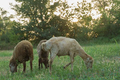 The sheep are grazing in the meadows. Stock Images