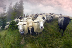 Sheep grazing in mist. Cold morning in misty mountains, shepherds kicked sheep graze on the mountain meadows in wild forests of Ukraine. Traditional economy royalty free stock image