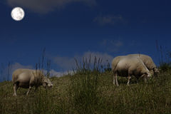 Sheep grazing in the moonlight Royalty Free Stock Photos