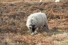 Sheep grazing on moorland Royalty Free Stock Photos