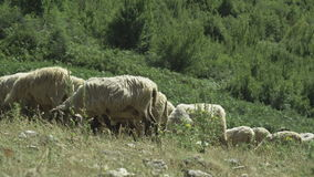Sheep grazing in mountain areas stock video footage