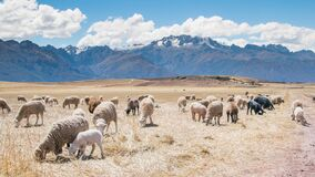 Sheep grazing in mountain field Stock Images