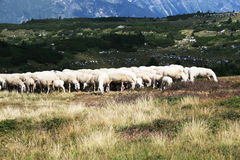 Sheep grazing in mountain Royalty Free Stock Image