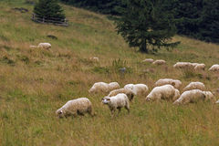 Sheep grazing on mountain meadow Stock Photo