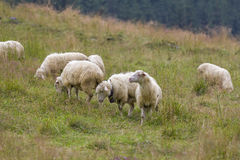 Sheep grazing on mountain meadow Stock Image