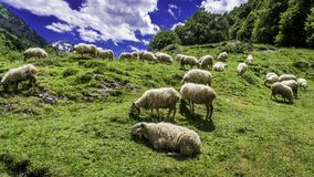 Sheep grazing in the mountain. Sheep grazing in the mountains, loaded with white wool and dense. The day in the mountain is clear, the sky very blue with some stock photos
