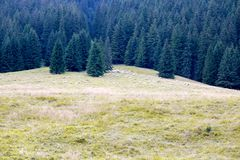 Sheep grazing in the mountains on the background of pine forest Stock Photos
