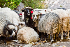 Sheep grazing in the mountains. Curious sheep grazing in the mountains Stock Image
