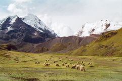 Sheep grazing in mountains, Peru. A flock of Alpacas grazing in the Ausangate mountain area, Peru stock images