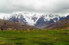 Sheep grazing in mountains, Peru Royalty Free Stock Photography