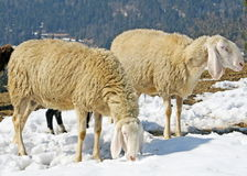 Sheep grazing in the mountains in the snow in search of grass Royalty Free Stock Photos