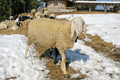 Sheep grazing in the mountains in the snow in search of grass to Stock Photos
