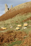Sheep grazing near castle Stock Photos