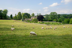 Sheep grazing near in the cotswolds, England royalty free stock images