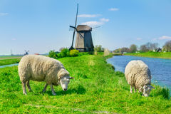 Sheep grazing near a dyke Stock Images