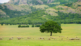 Sheep grazing near an oak Royalty Free Stock Image