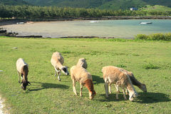 Sheep grazing near the seaside, Rodrigues Island Royalty Free Stock Photos