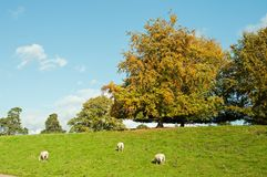 Sheep grazing near some trees in the English countryside. A rural summertime landscape scene with clouds and blue skies and a herd of sheep in the British royalty free stock photos