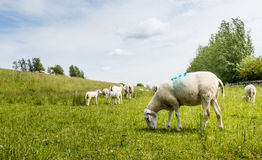 Sheep grazing next to a dike Royalty Free Stock Photography