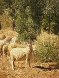 Sheep Grazing Olive Tree Leaves Royalty Free Stock Photography
