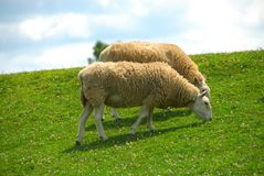 Sheep Grazing On The Hillside Stock Images