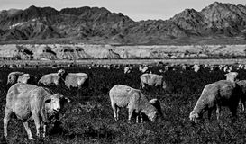 Free Sheep Grazing On Weeds And Grass In The Farm Land Royalty Free Stock Images - 110864019