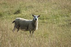 Sheep grazing in open farmland royalty free stock photography