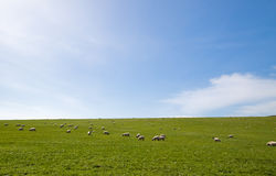 Sheep grazing an open field. Sheep grazing wide open pasture on a late summers day Royalty Free Stock Photos