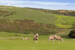 Sheep grazing on the open green meadows during Autumn in Austral Stock Image