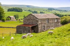 Sheep and a Barn in the Yorkshire Dales. Sheep grazing outside a traditional farm barn in the Yorkshire Dales in England Royalty Free Stock Images