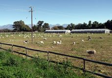Sheep grazing paddock Stock Photo