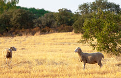 Sheep grazing in a paddock Stock Photo