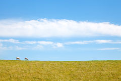 Two Sheep Grazing Together Royalty Free Stock Photos