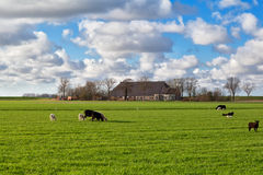Sheep grazing on pasture Royalty Free Stock Photography