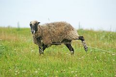 A sheep grazing at the pasture royalty free stock photo
