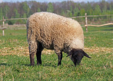 Sheep grazing in a pasture Stock Photography