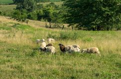 Sheep Grazing in the Pasture. Some sheep grazing in a pasture in the countryside Stock Photography