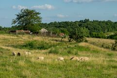 Sheep Grazing in the Pasture. Some sheep grazing in a pasture in the countryside Stock Photos