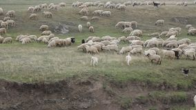 Sheep grazing and playful goats stock footage