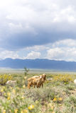 Sheep grazing in prairie with bush under cloudy sky Stock Image