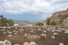 Sheep grazing in an enclosure. Sheep grazing and resting in an enclosure on a dry farm in Africa Stock Photography