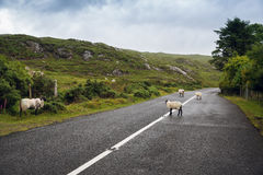 Sheep grazing on road at connemara in ireland Stock Photo