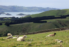 Sheep grazing on the road to Larnach Castle in Dunedin New Zeal Stock Photo