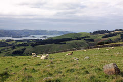 Sheep grazing on the road to Larnach Castle in Dunedin New Zeal Royalty Free Stock Photos