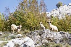 Sheep grazing Royalty Free Stock Photo