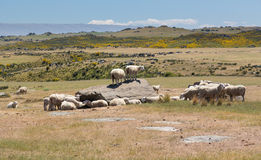 Sheep grazing on rocky land in New Zealand Stock Photos